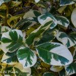 Do not plant Pisonia umbellifera 'Variegata' in your garden