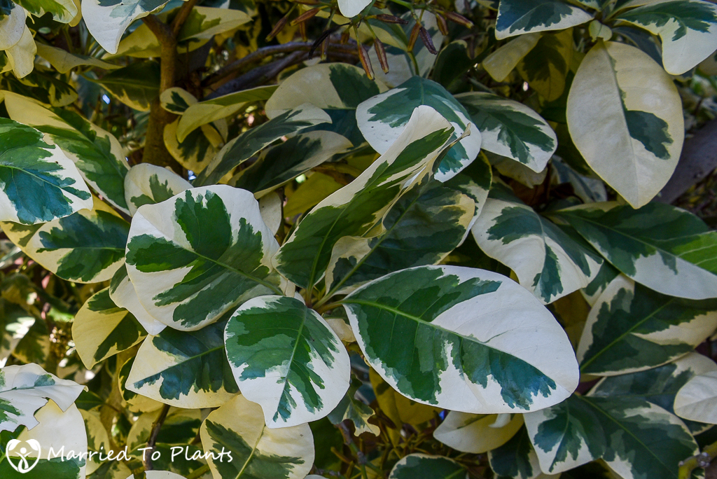 Do not plant Pisonia umbellifera 'Variegata' in your garden