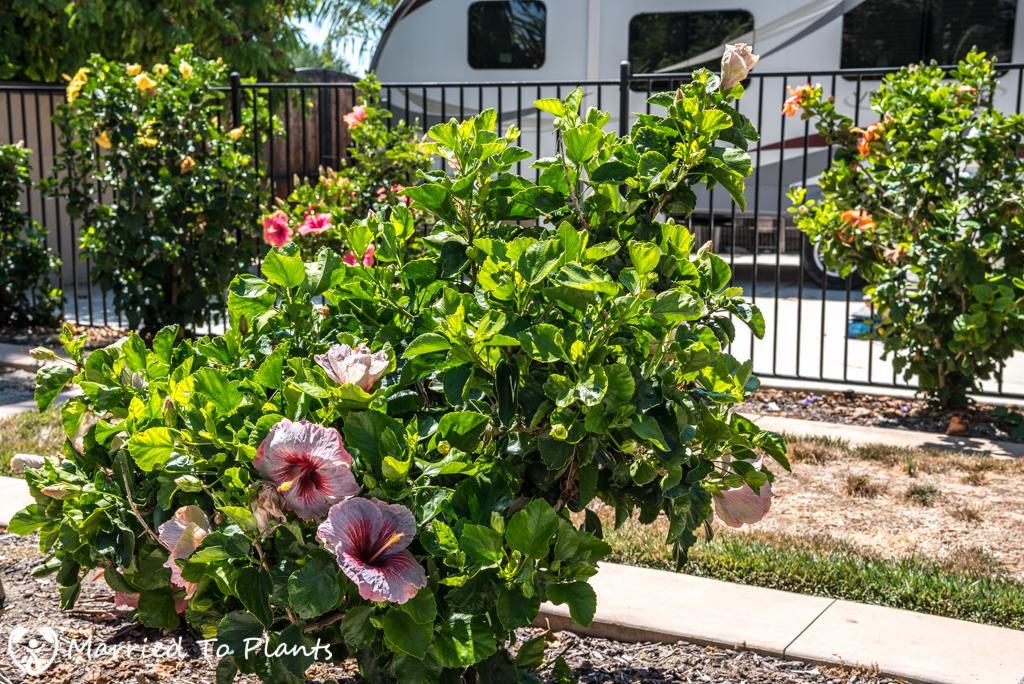 SCHS Garden Tour Hibiscus