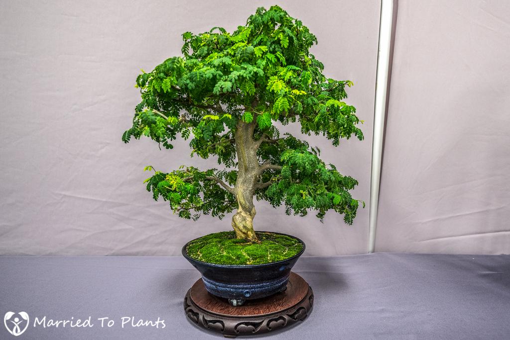 SDBC Exhibition Brazilian Rain Tree (Pithecellobium tortum)