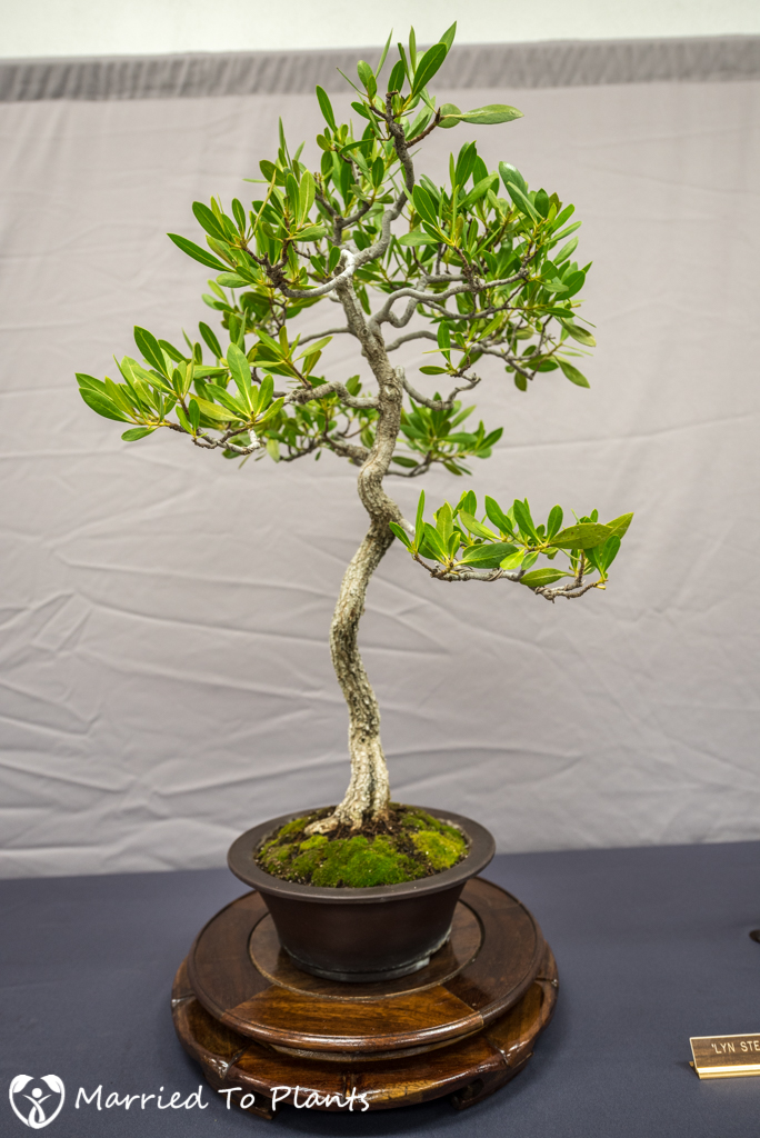 SDBC Exhibition Buttonwood (Conocarpus erectus)
