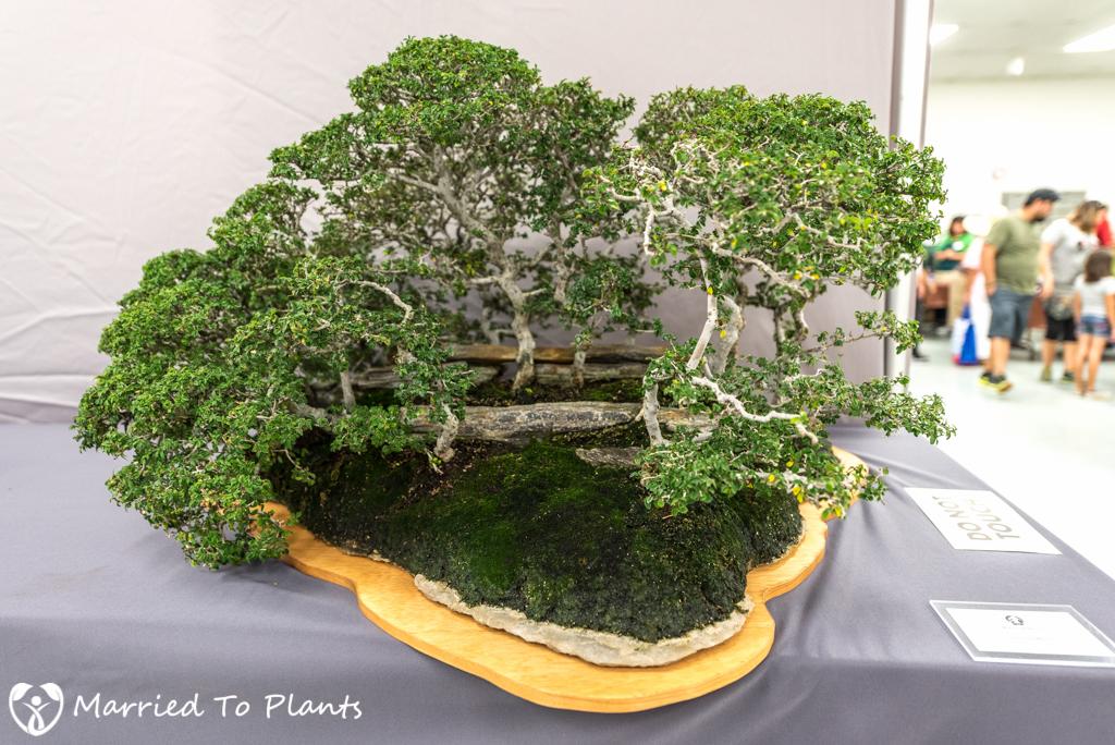 SDBC Exhibition Chinese Elm (Ulmus parvifolia)