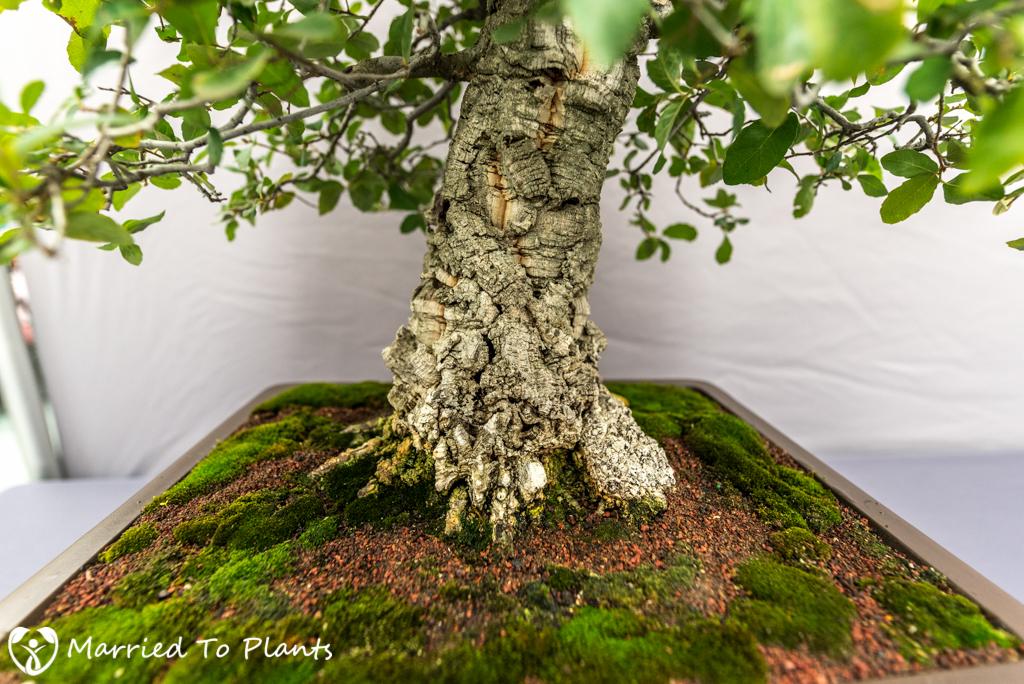SDBC Exhibition Cork Oak (Quercus suber)