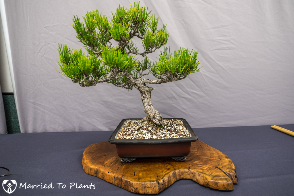 SDBC Exhibition Japanese Black Pine (Pinus thunbergii)