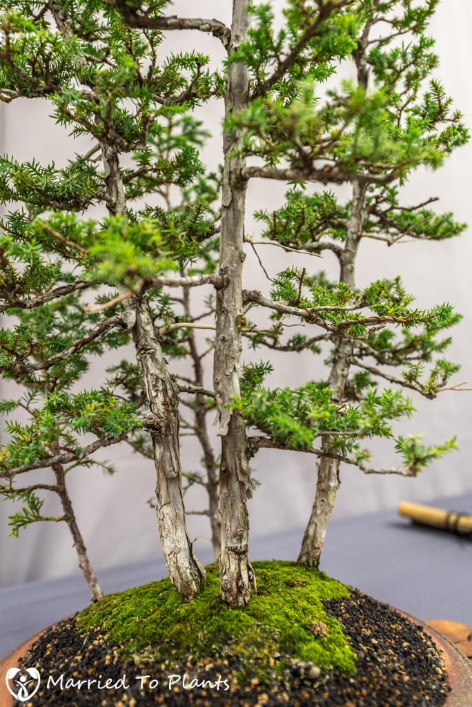 SDBC Exhibition Foemina Juniper (Juniperus chinensis 'Foemina')