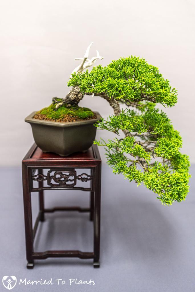 SDBC Exhibition Kishu Shimpaku (Juniperus chinensis var. sargentii)