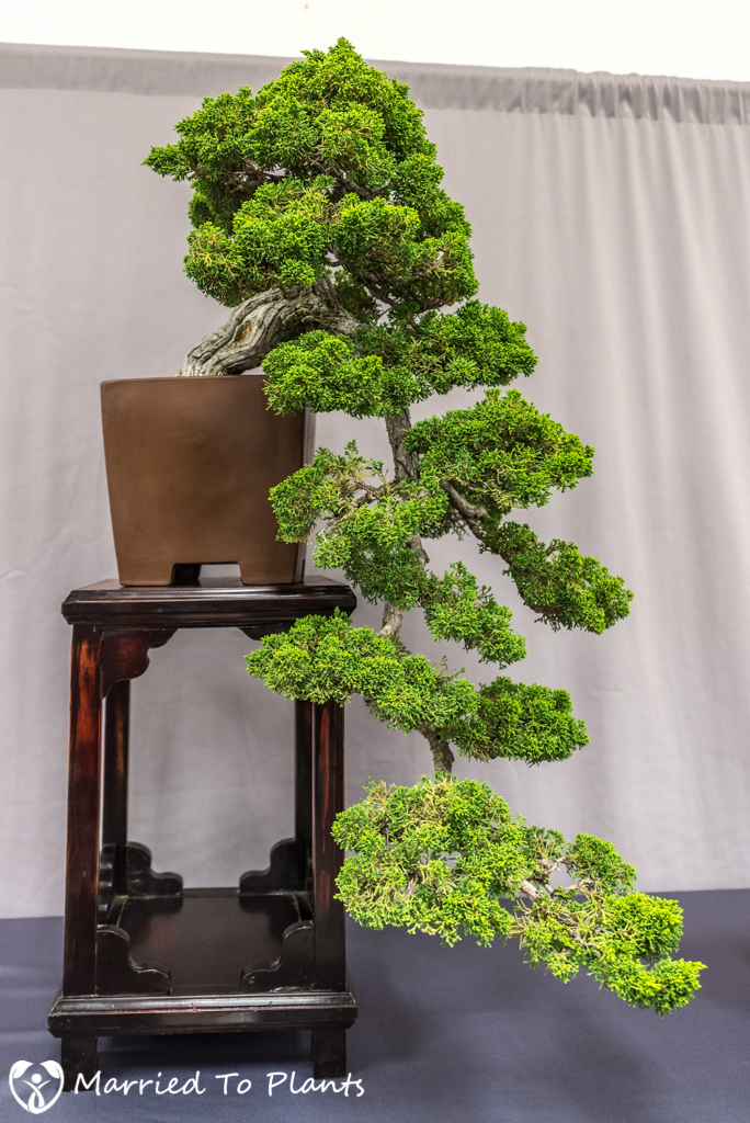 Kishu Shimpaku (Juniperus chinensis var. sargentii).