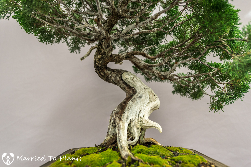 SDBC Exhibition Kishu Shimpaku (Juniperus chinensis var. sargentii