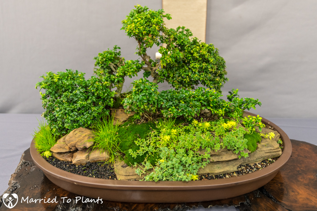 SDBC Exhibition Kingsville Boxwood (Buxus microphylla 'Kingsville'