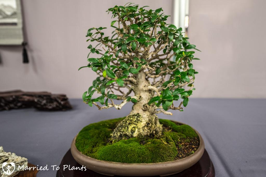 SDBC Exhibition Olive Tree (Olea europaea)