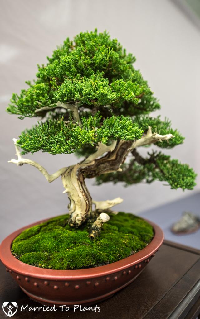 SDBC Exhibition Procumbens Nana (Juniperus chinensis var. procum
