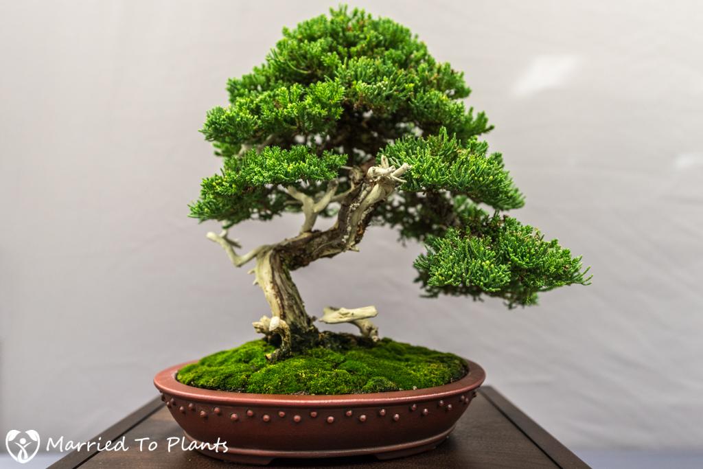 SDBC Exhibition Procumbens Nana (Juniperus chinensis var. porum)