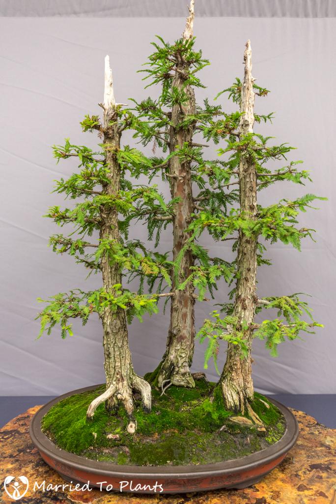 SDBC Exhibition Bald Cypress (Taxodium distichum)