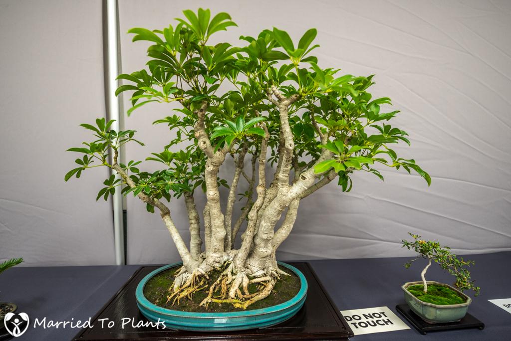 SDBC Exhibition Umbrella Tree (Schefflera arboricola)