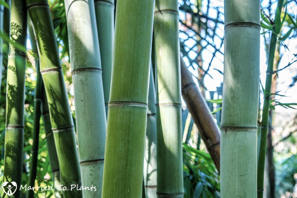 Cuesta Linda PSSC - Bamboo
