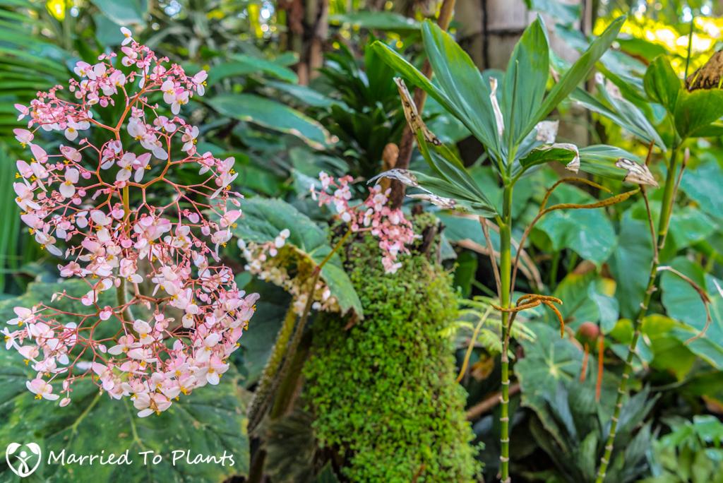 Cuesta Linda PSSC - Begonia Flower
