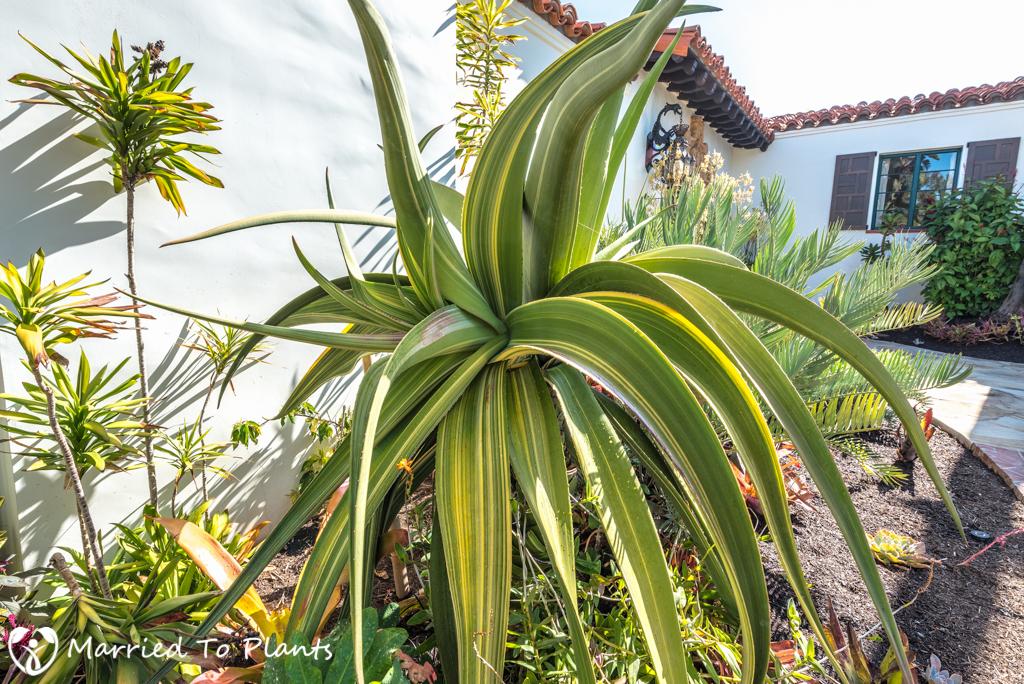 Cuesta Linda PSSC - Variegated Aloe