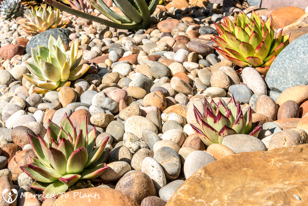 Echeveria agavoides Rock Garden