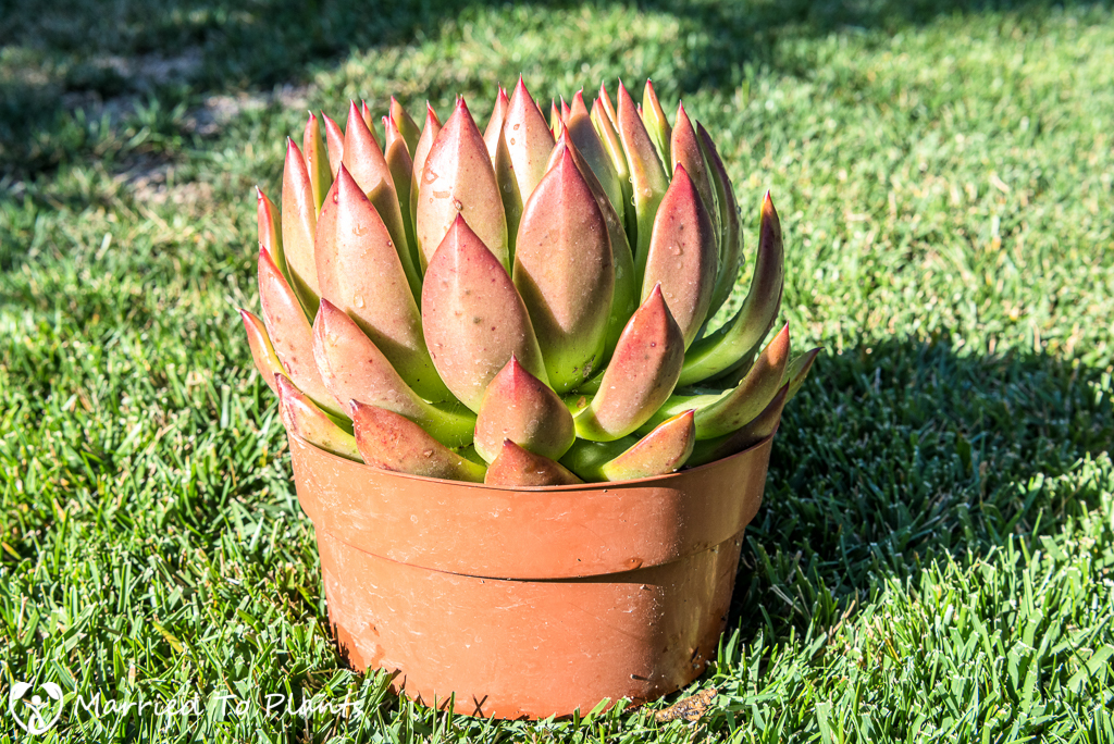 Unknown Echeveria agavoides Hybrid