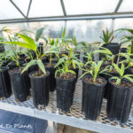Palm tree growing tips: Stuewe and Sons Treepots