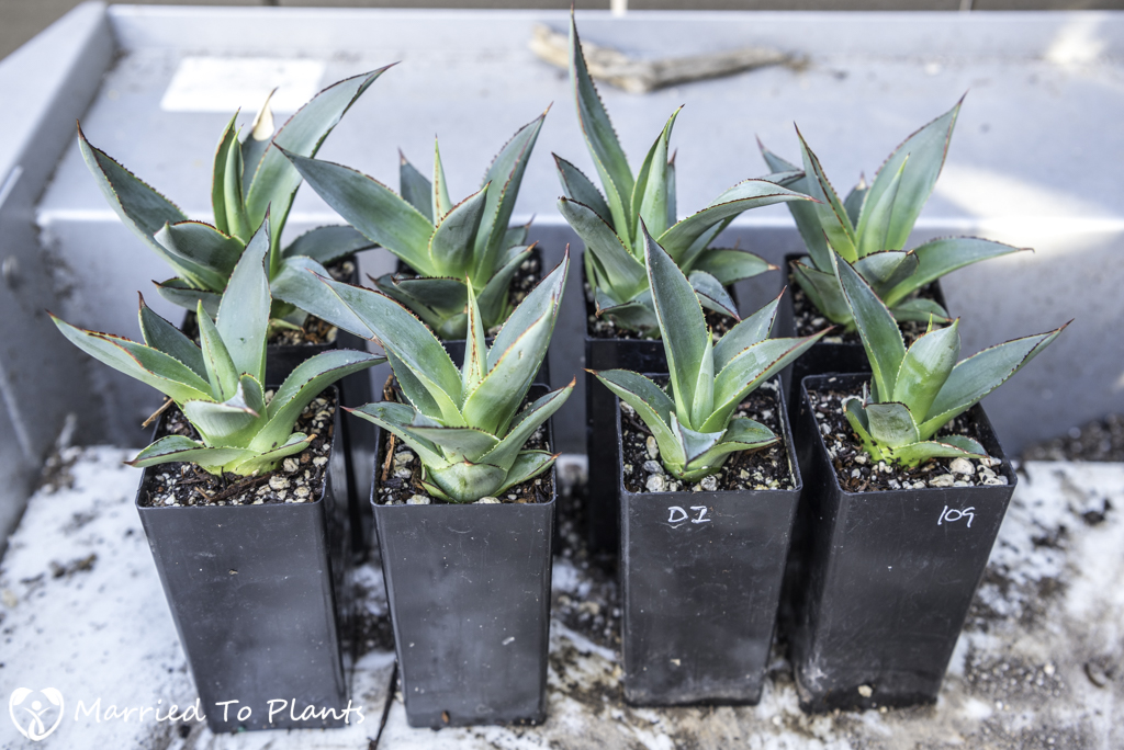 Agave 'Blue Glow' Propagation Roots