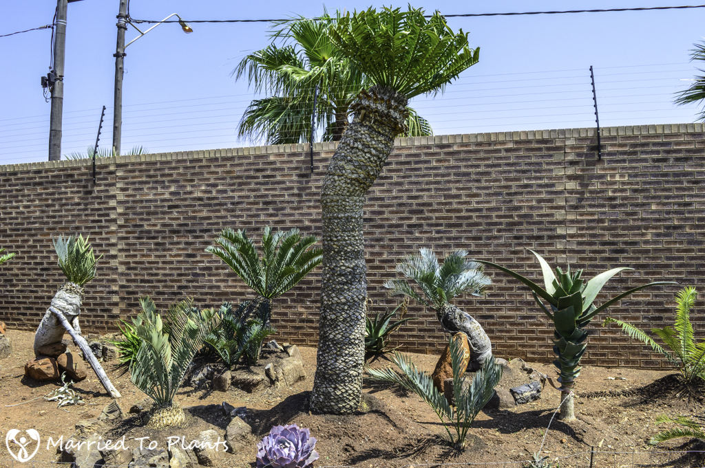 Johannesburg Cycad Garden Encephalartos altensteinii