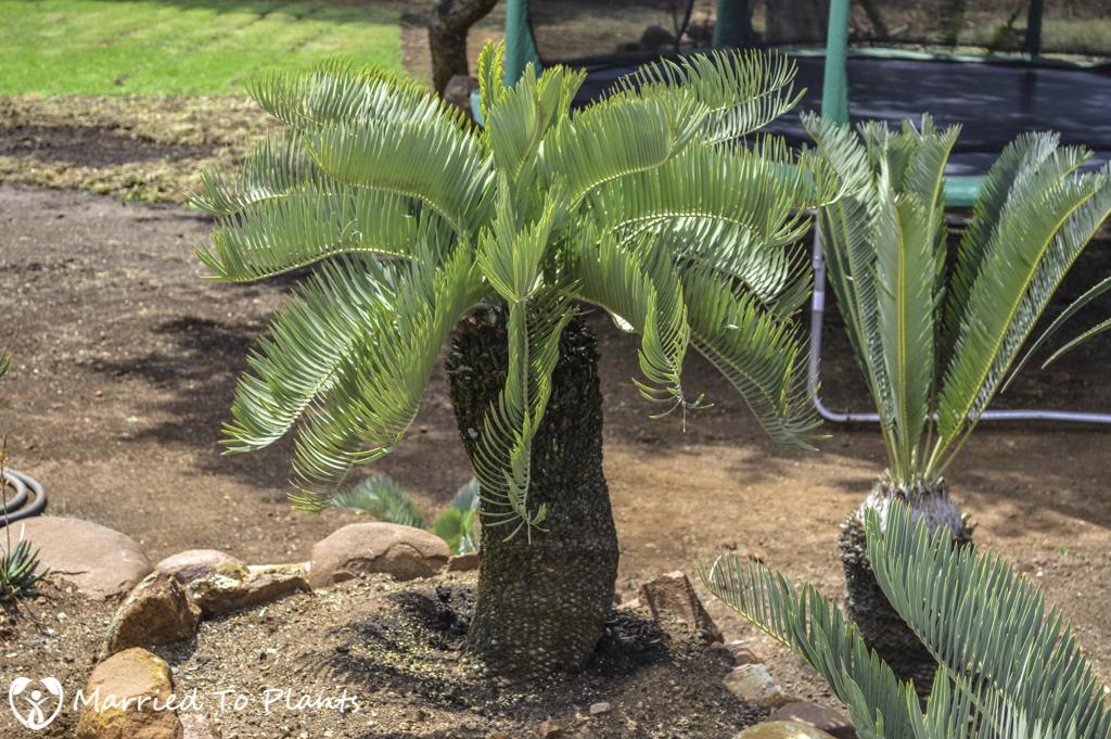 Johannesburg Cycad Garden Encephalartos eugene-maraisii