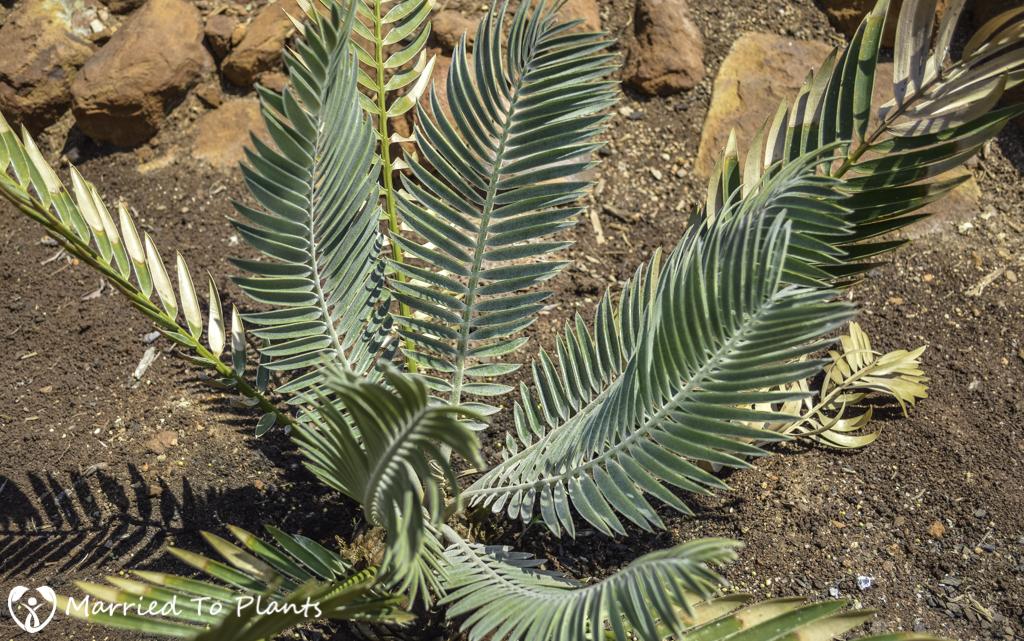 Johannesburg Cycad Garden Encephalartos heenanii 'Blue Form'