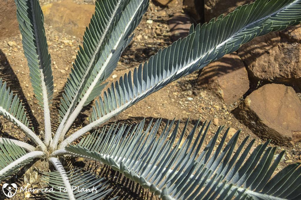 Johannesburg Cycad Garden Encephalartos hirsutus