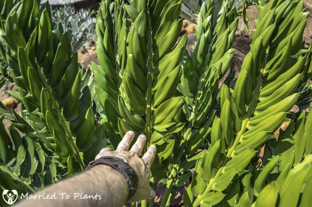 Johannesburg Cycad Garden Encephalartos latifrons Leaflets