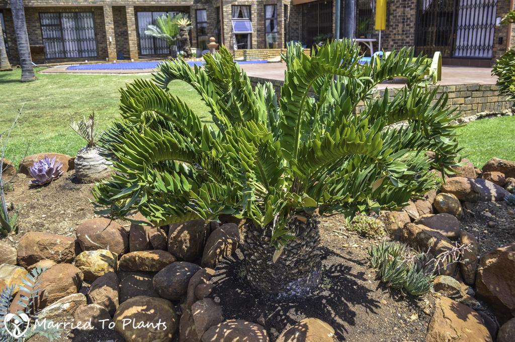 Johannesburg Cycad Garden Encephalartos latifrons