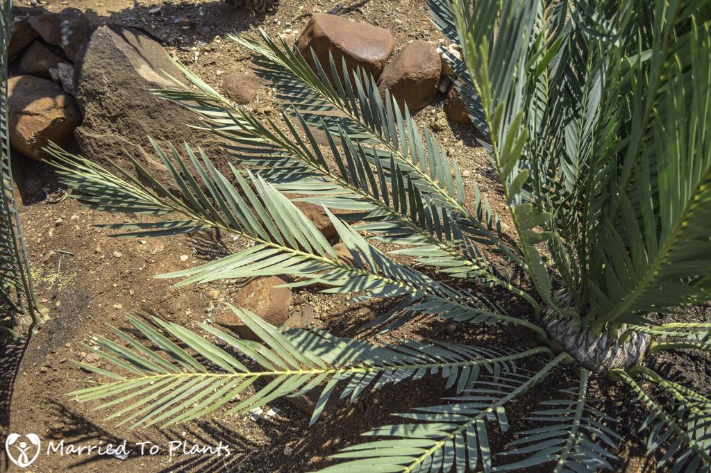 Johannesburg Cycad Garden Encephalartos levuboensis
