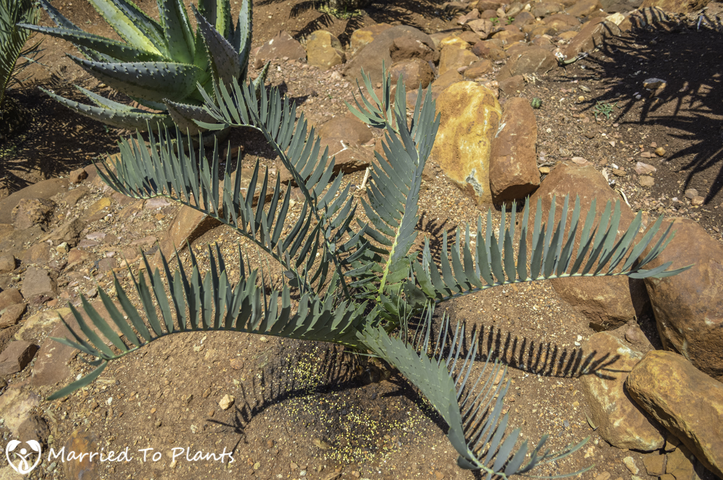 Johannesburg Cycad Garden Encephalartos nubimontanus 'Robustus'