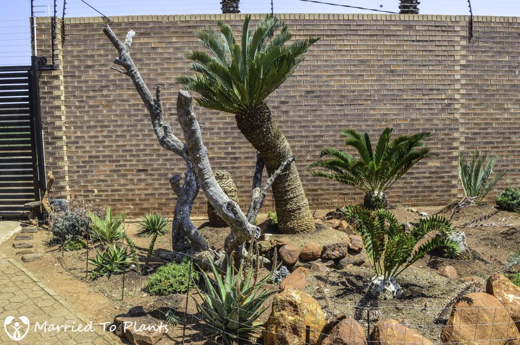 Johannesburg Cycad Garden Encephalartos princeps