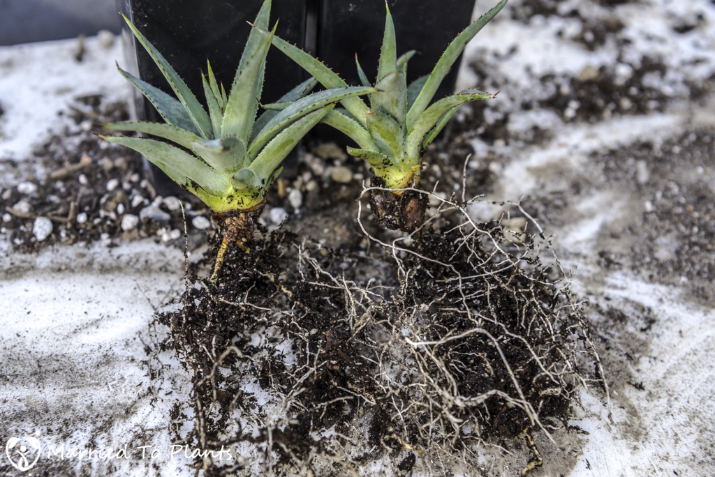 Mangave ' Bloodspot' Bulbil Propagation Roots