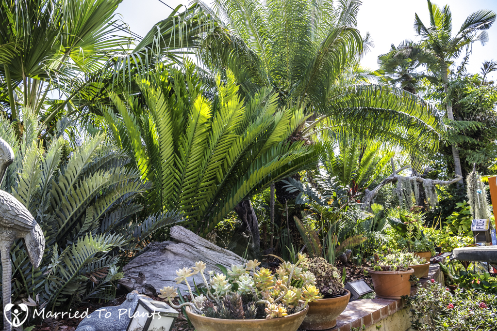 Nakanishi Backyard Cycads and Pots