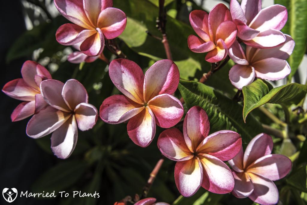 Nakanishi Plumeria Flowers
