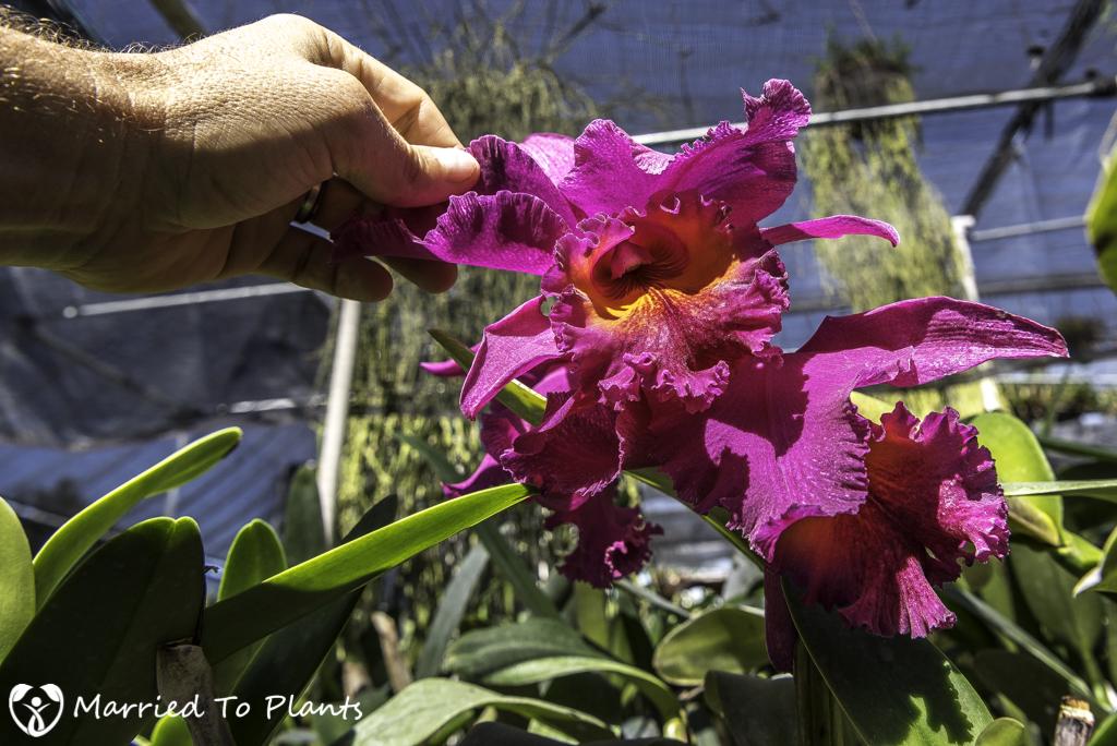 Nakanishi Shadehouse Orchid Flower