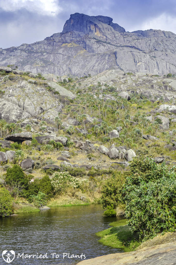 Ravenea glauca in Andringitra