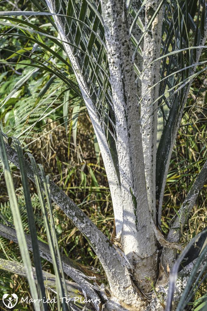 Ravenea glauca Tomentum in Andringitra