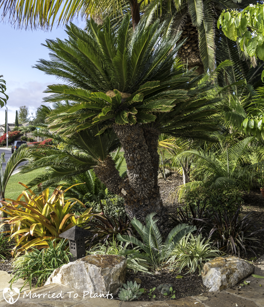 Large Cycas revoluta