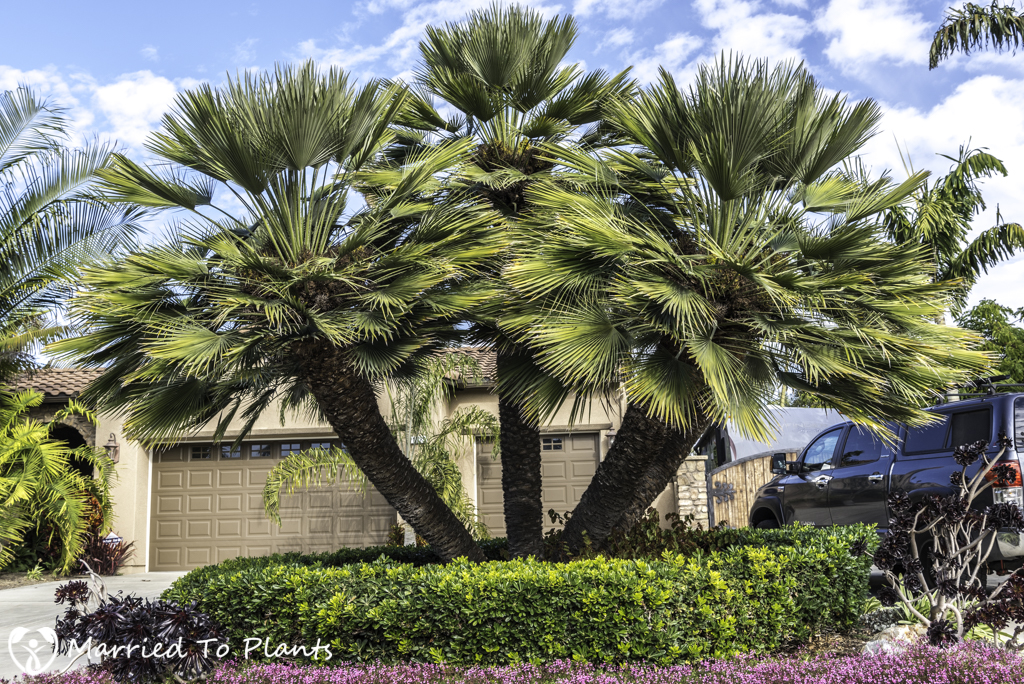 Mediterranean Fan Palm (Chamaerops humilis)