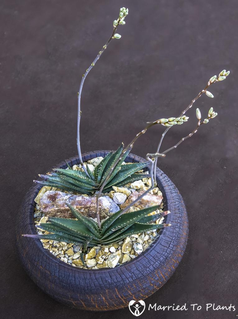 Photo 120 Final - Aloe calcairophila