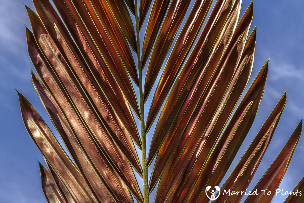 Photo 120 Final - Chambeyronia hookeri Leaf