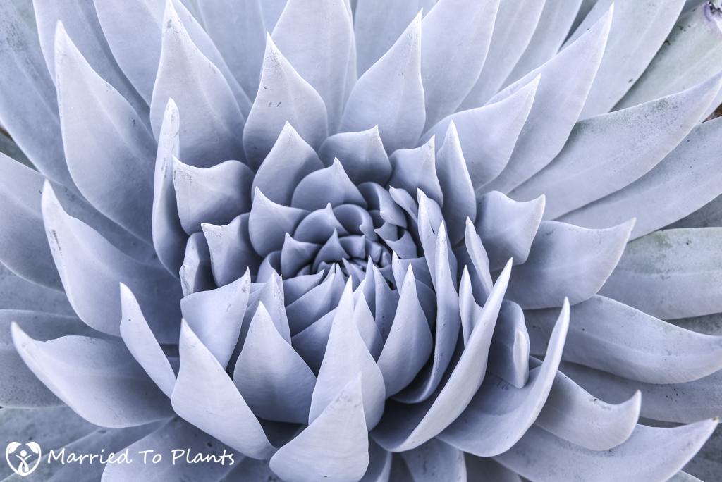 Photo 120 Final - Dudleya brittonii (Giant Chalk Dudleya)