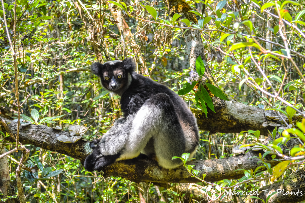 Indri Lemur (Indri indri) at Analamazaotra Reserve