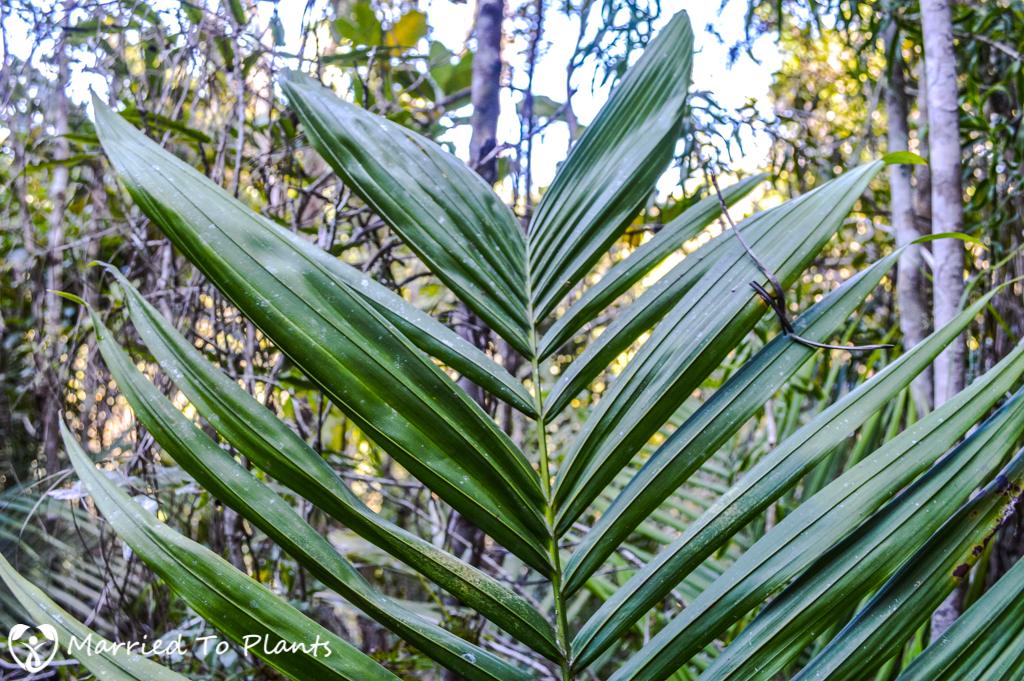 Ambodihazo Unknown Dypsis Fused Leaflets
