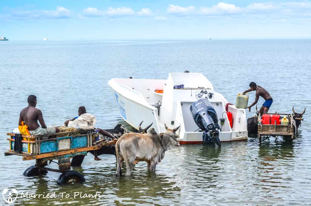 Anakao Zebu Cart in Water