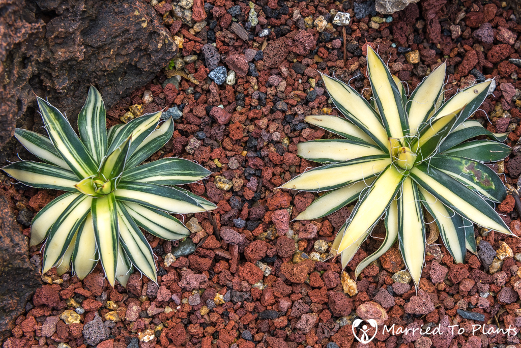 Bjorklund Garden Agave filifera 'Mediopicta Aurora'