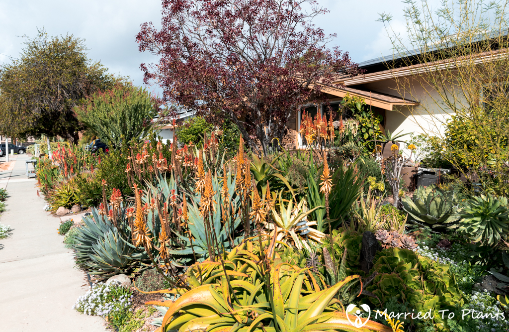 The Entire Front Yard Was Jam Packed With Succulents Of Every Variety All Easily Cohabiting As They Challenge Each Other For Room